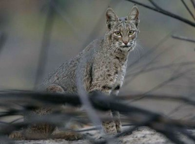 Scenes from the wildfires: The fire's other victims: Bobcat