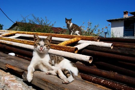 Thumbnail: PAVEL13's Fotothing - Cats at Mount Athos (Agion Oros) Greece