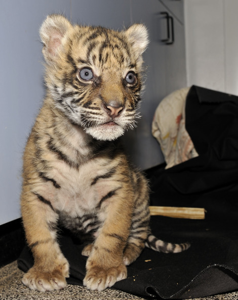 Tiger cub at Jerusalem Zoo