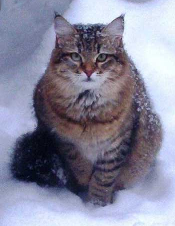 Siberian Cat So Foxy of Jorrah