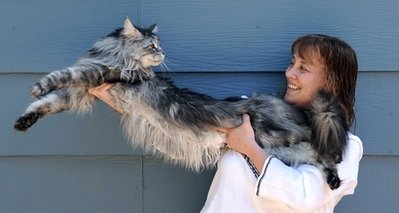 Picture of Stewie, the world's longest cat