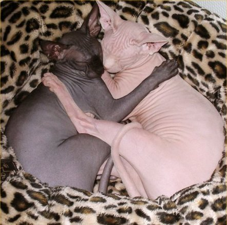 Two hairless Sphynx cats