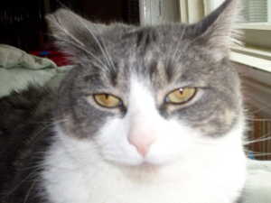 Photo of grey and white tabby