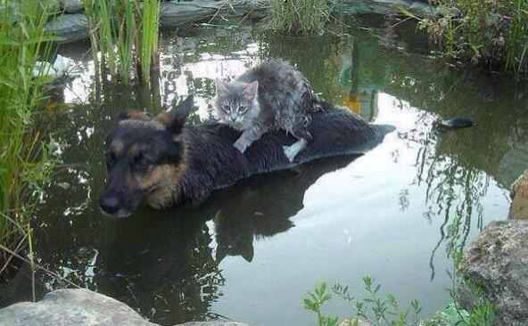 Cat on dog's back in floodwaters