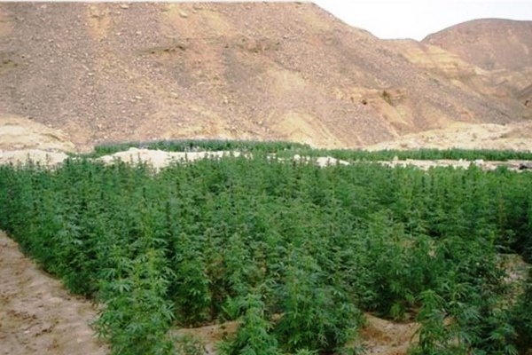 Drug plantation in the Sinai hills