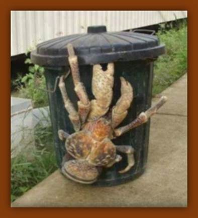 Giant coconut crab found in Hawai'i