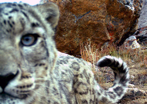 Snow leopard cub steals camera trap
