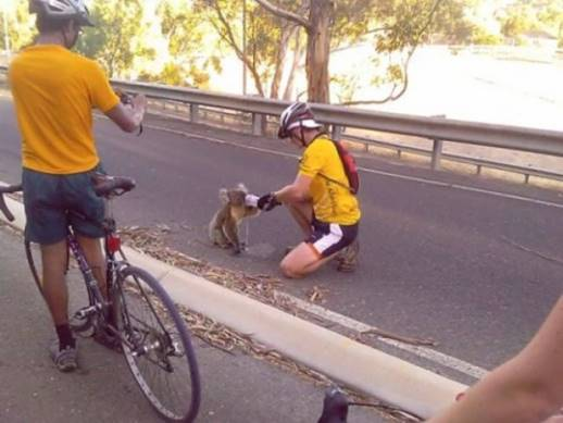 Koala accepts bottled water from cyclist